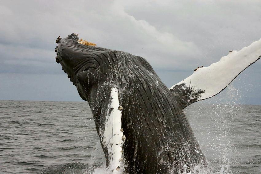 Ballenas jorobadas y ballenas francas se dejan ver en aguas de la costa este de Florida