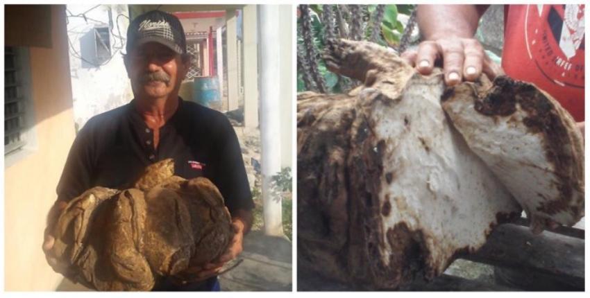 Vecinos de Yaguajay descubrieron un boniato de 35 libras en un solar