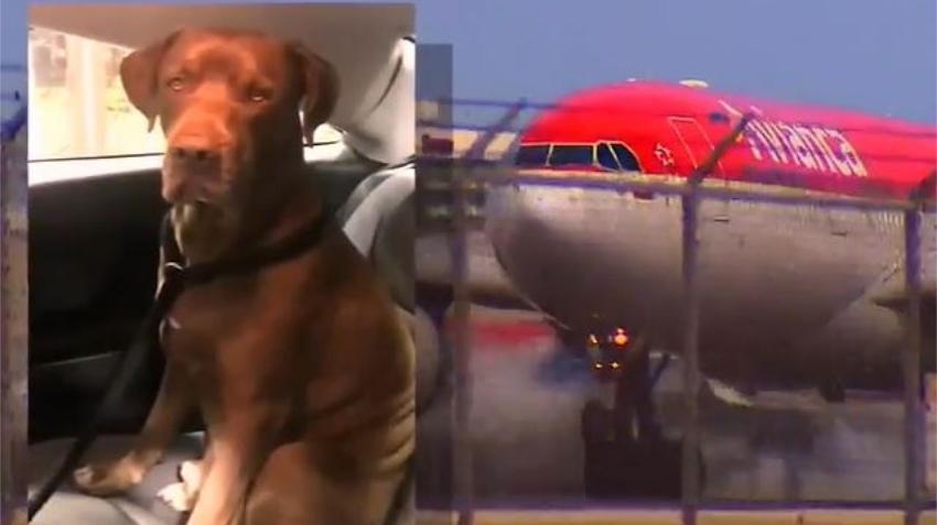 Perro que debía llegar al Aeropuerto de Miami fue enviado por error a Madrid, sus dueños cuentan la pesadilla que vivieron