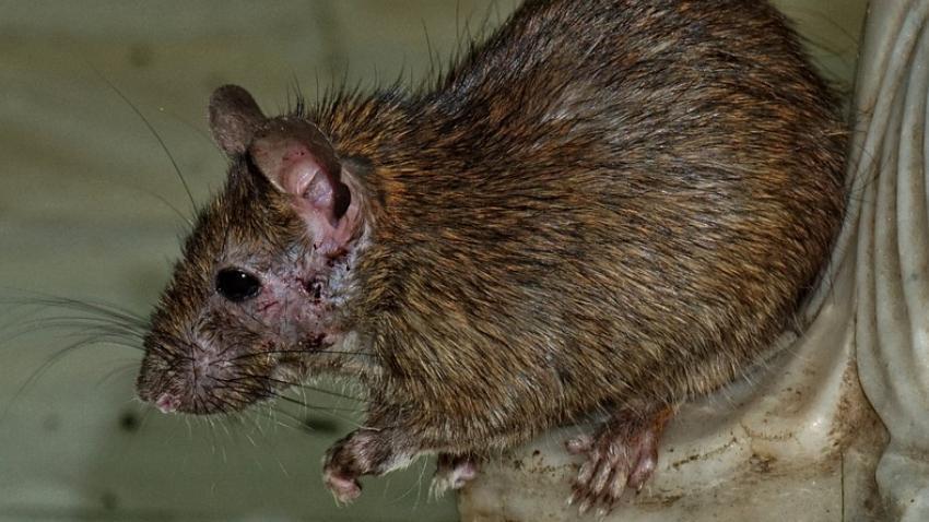 Un roedor cae del techo mientras las autoridades de salud realizaban una inspección en un restaurante en Miami