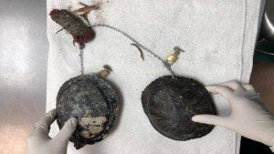 Encuentran trabajo de brujería en Miami Beach: Dos tortugas encadenadas a un muñeco de vudú