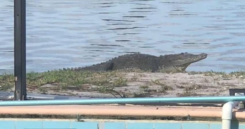 Mujer en Aventura pide ayuda para remover un cocodrilo de su patio