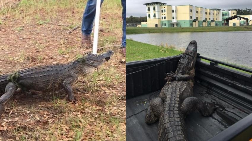 Capturan un cocodrilo de 6 pies afuera de una escuela en la Florida