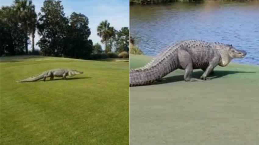 Cámaras captan gigante caimán de 10 pies cuando interrumpe un juego de golf