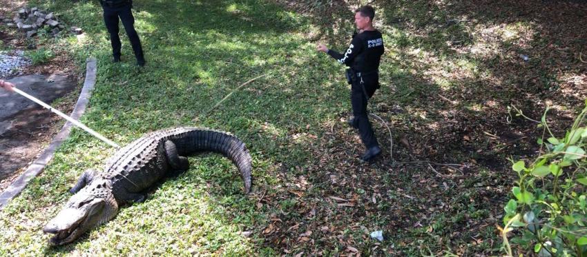 Enorme caimán de 12 pies y 750 libras atrapado en Florida