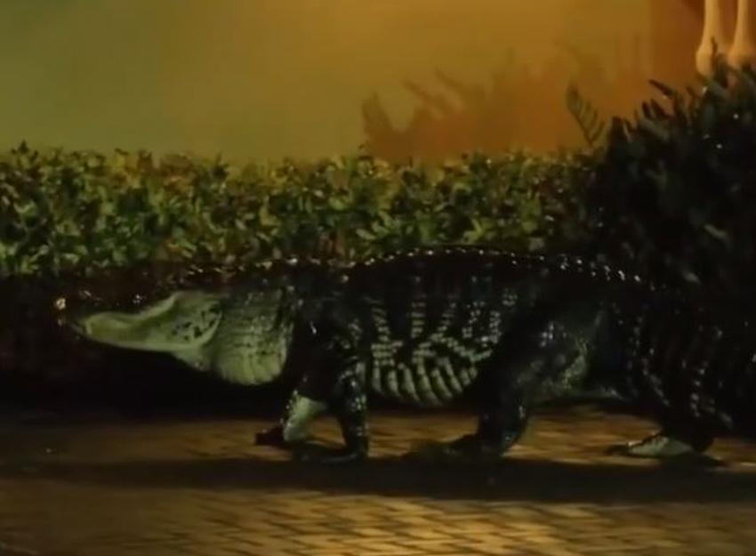 Atrapan un caimán de 10 pies en la Pequeña Habana