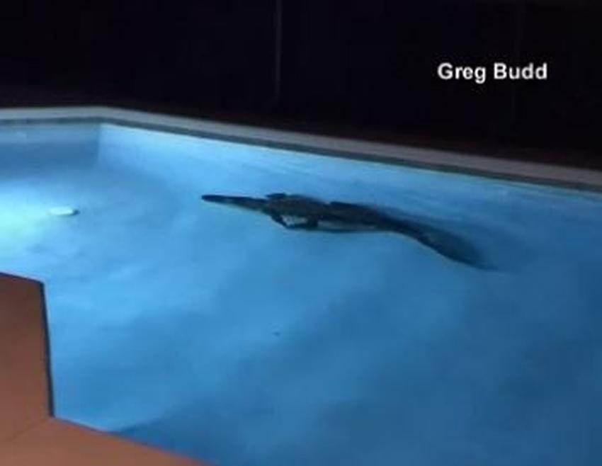 Residentes de Florida se encuentran un cocodrilo en el patio de la casa por la madrugada