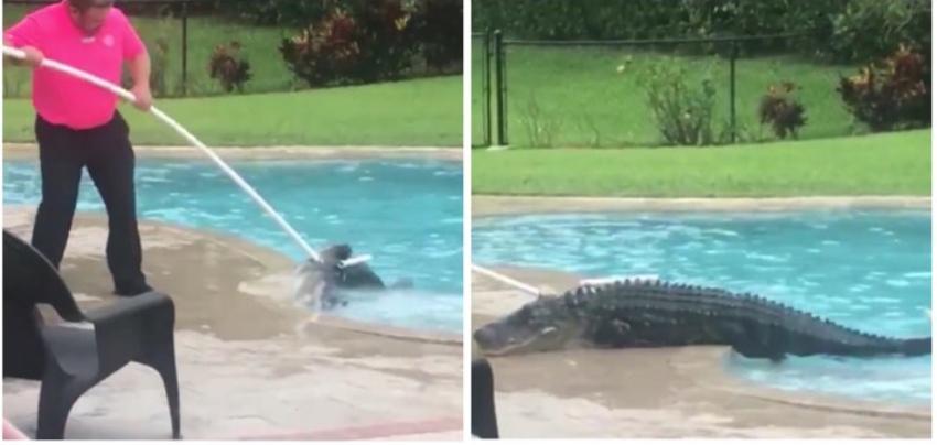 Mujer se topa con un enorme caimán descansando en la piscina de su casa en Florida