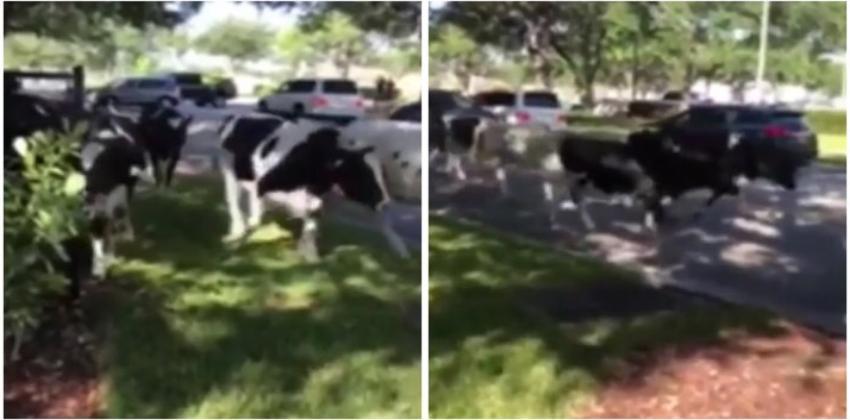 Manada de vacas para el tráfico y cierra las vías en Miami Lakes