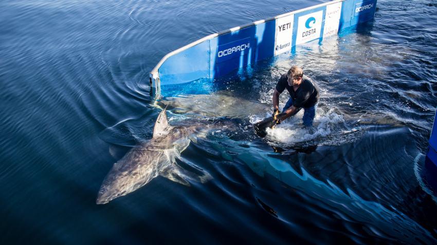 Gran tiburón blanco que pesa 1,668 libras y fue visto frente al Panhandle de Florida