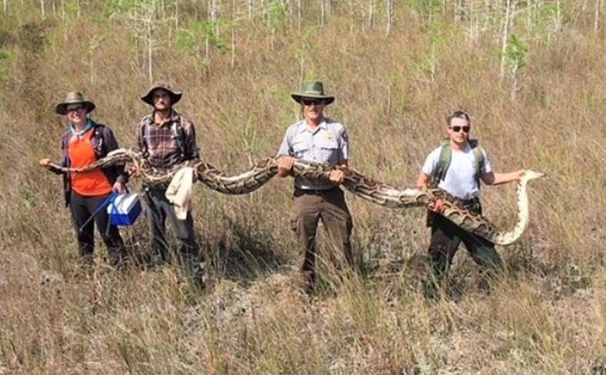 Encuentran pitón hembra que rompe récords en el sur de Florida; 17 pies y 140 libras