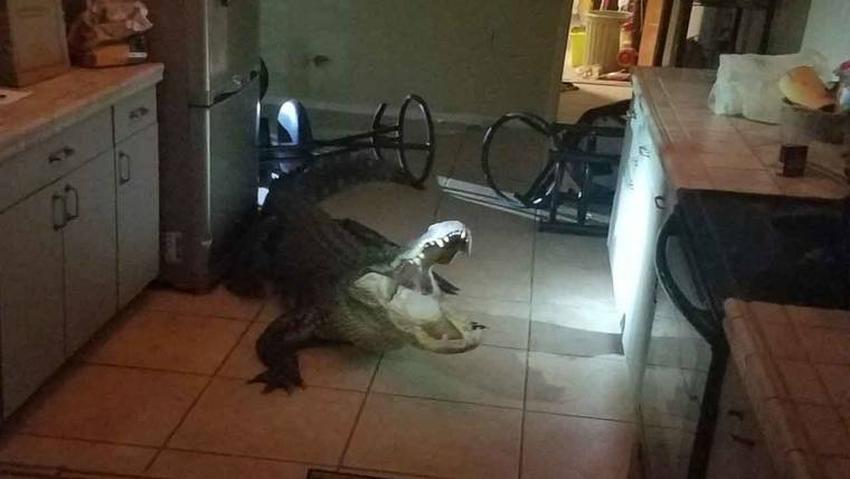 Aterrador caimán de 11 pies de largo se pasea por la cocina de una casa en Florida