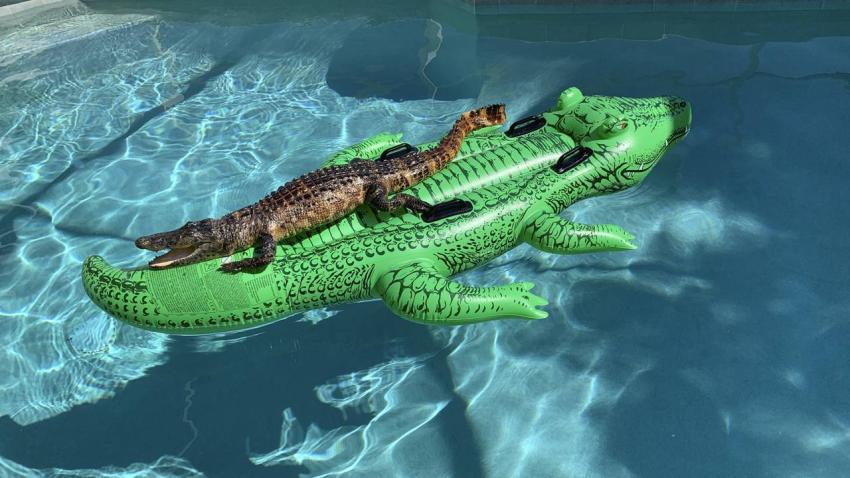 Familia en Miami encuentra un caimán trepado en un caimán inflable en una piscina