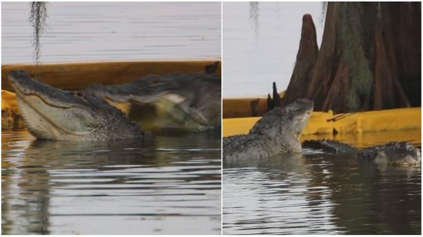 Un caimán es atacado por otro en una reserva de la Florida y todo queda captado en cámara
