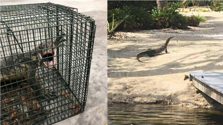 Atrapan en los cayos de Florida un grande monitor de agua asiático tras meses de esfuerzos de captura
