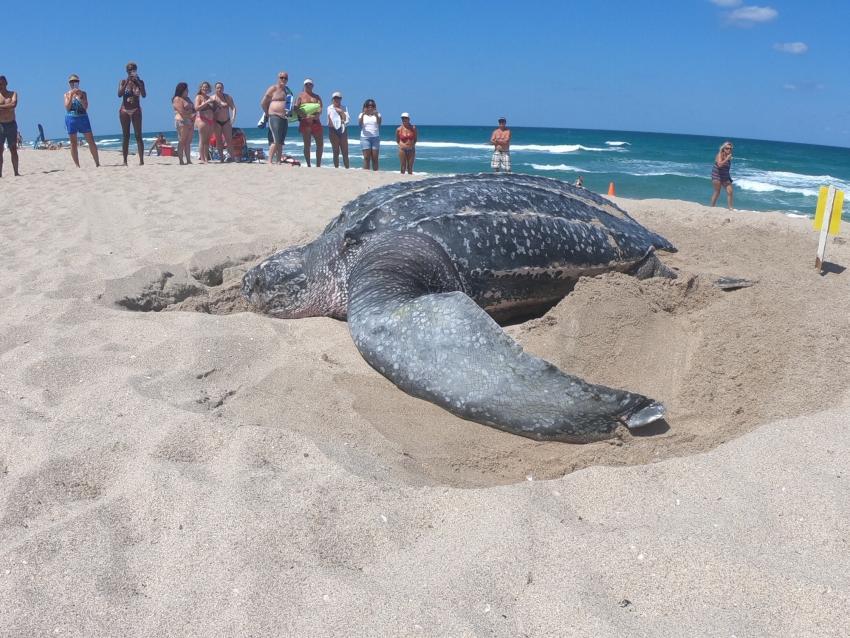 Encuentran tortuga gigante en playa del Sur de la Florida
