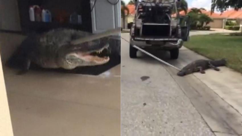 Un gran caimán de 9 pies sorprende a los residentes de una vivienda en el suroeste de la Florida