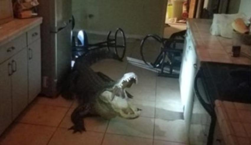 """A una anciana de Florida le pareció """"divertido"""" que un cocodrilo de 11 pies se metiera en su cocina"""