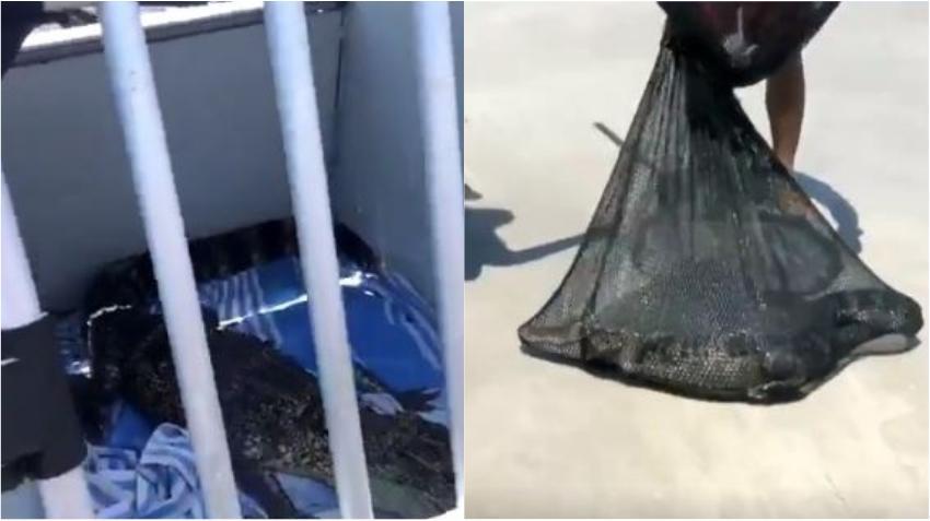 Un caimán en una playa de Florida causa conmoción entre los bañistas