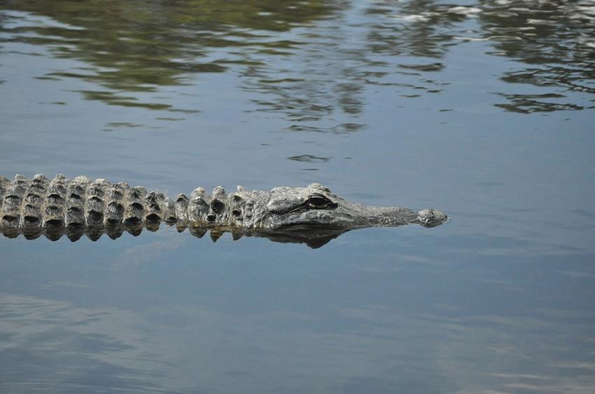 Una persona es aerotransportada al hospital tras un ataque de caimán en el sur de la Florida