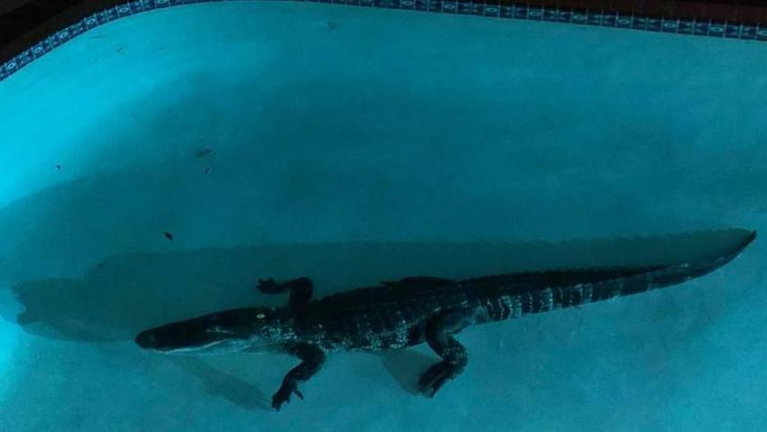 Caimán de 7 pies se mete en la piscina de una casa en Florida