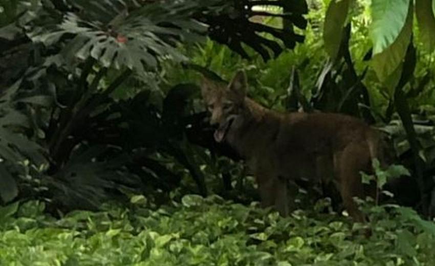 Alertan sobre un coyote en un vecindario residencial del noroeste de Miami