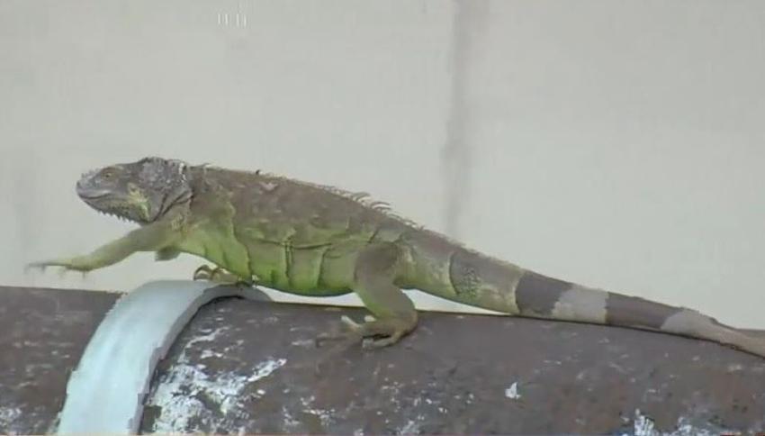 Servicio meteorológico advierte sobre posibles iguanas cayendo de árboles a  medida que se acerca el frente frío