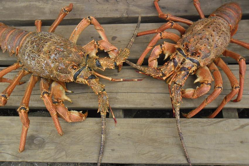 Comienza la mini-temporada de pesca de langosta en Florida