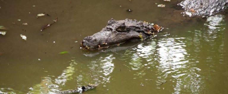 Hombre de Florida atacado por un caimán logra escapar tras tratar de arrancarle un ojo