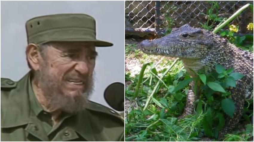 Pierde un brazo el hombre que fue mordido por el cocodrilo que perteneció a Fidel Castro