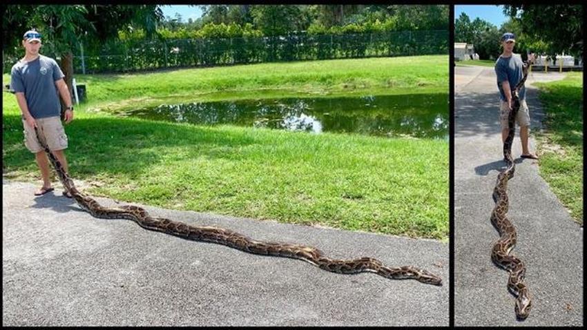 Equipo de cazadores atrapa la segunda serpiente pitón más grande registrada en los Everglades