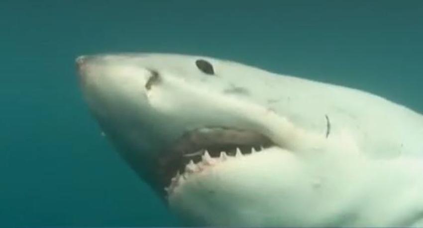 Grandes tiburones blancos están migrando a Florida para el invierno