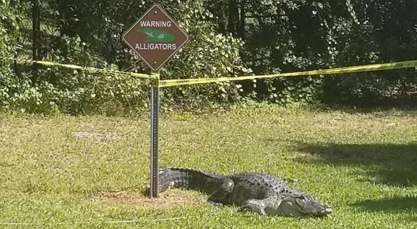 """Un caimán en Florida se toma una siesta al pie de un cartel que advierte """"Cuidado con los caimanes"""""""