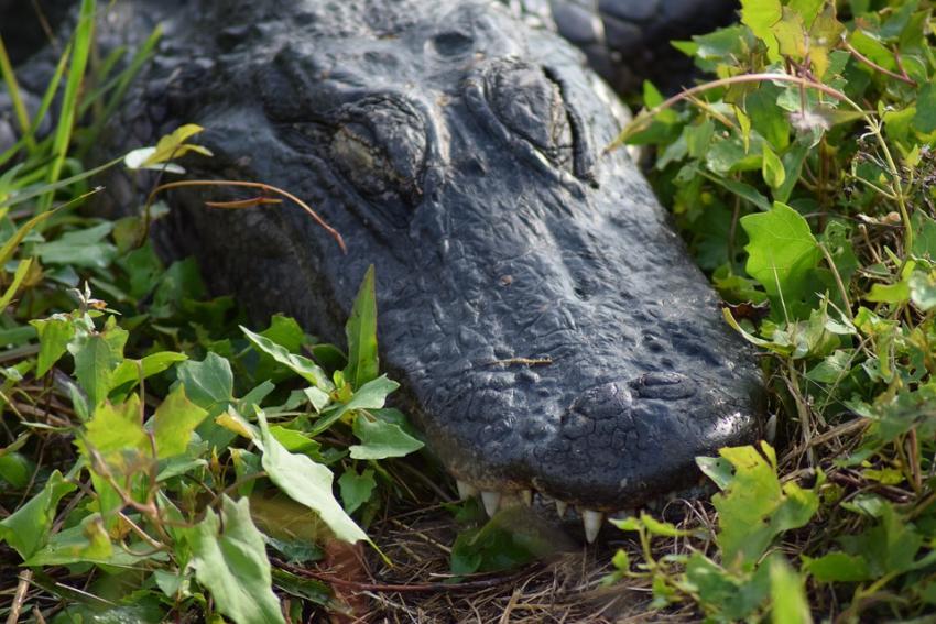 Un caimán muerde a un hombre en la cara mientras jugaba con discos en un parque de la Florida