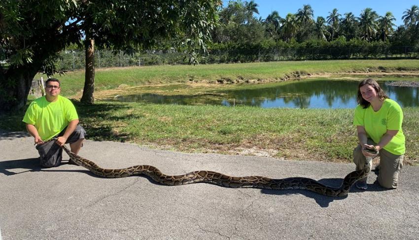 Capturan pitón birmana de 18 pies y 4 pulgadas en Florida