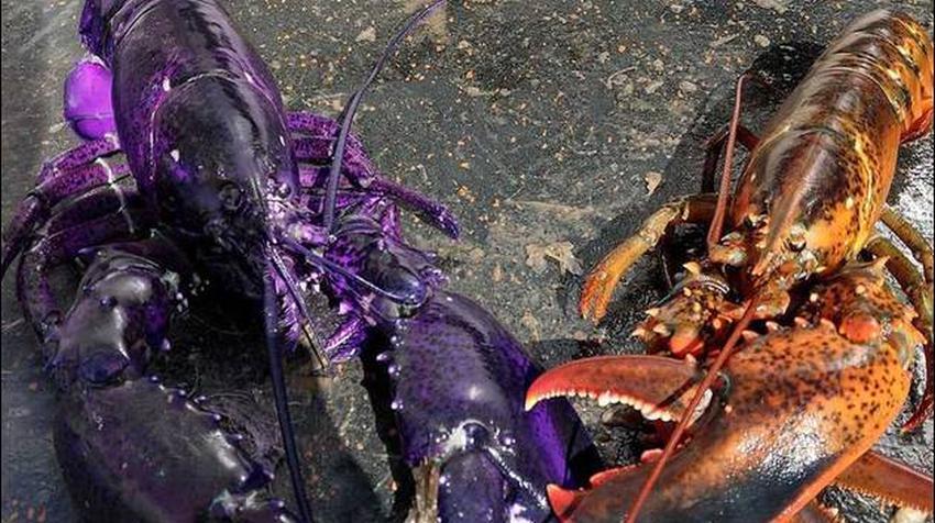 Pescador atrapa una rara e impresionante langosta de color morado