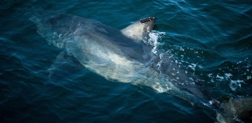 """Avistan a """"Sidney"""" un enorme tiburón de 12 pies en las costas de Daytona Beach"""