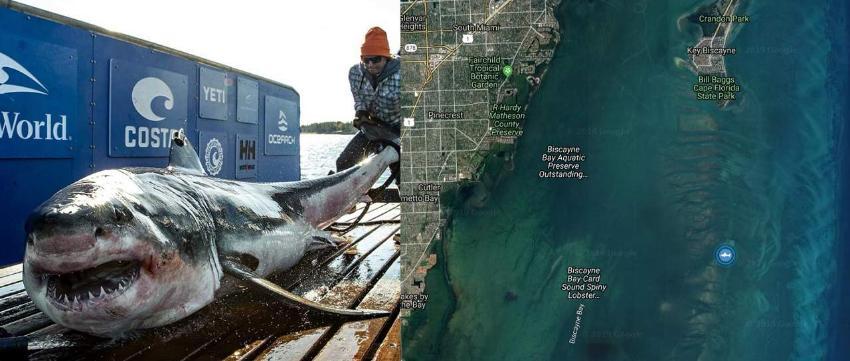 Enorme tiburón blanco de 12 pies de visita en la Bahía de Biscayne