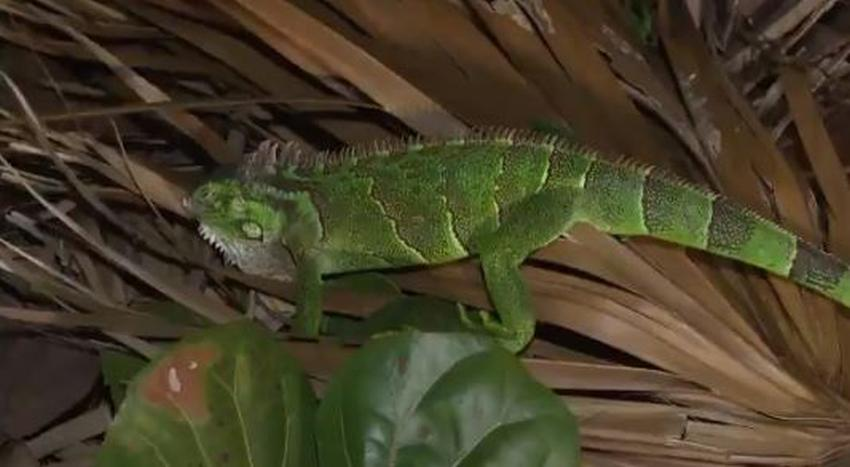 Iguanas congeladas caen de árboles en el sur de Florida