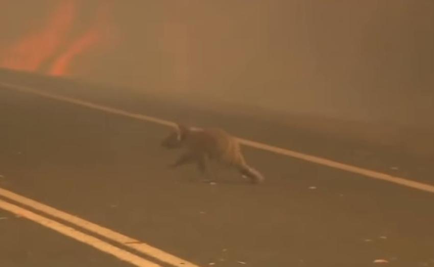 Casi 500 mil animales han perdido la vida en los fuegos en Australia