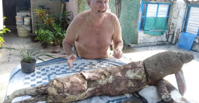 Cubano sacó una yuca de 35 libras del patio de su casa en Gibara