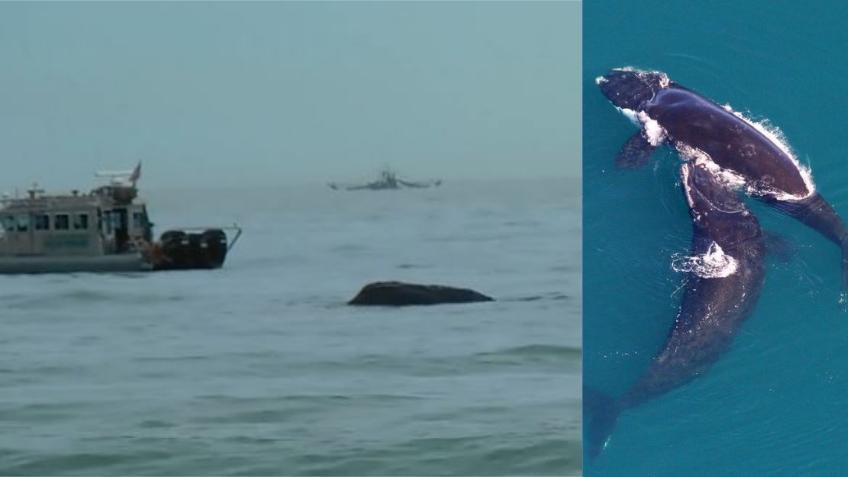 Ballenas francas se dejan ver en las costas de la Florida mientras migran hacia el sur