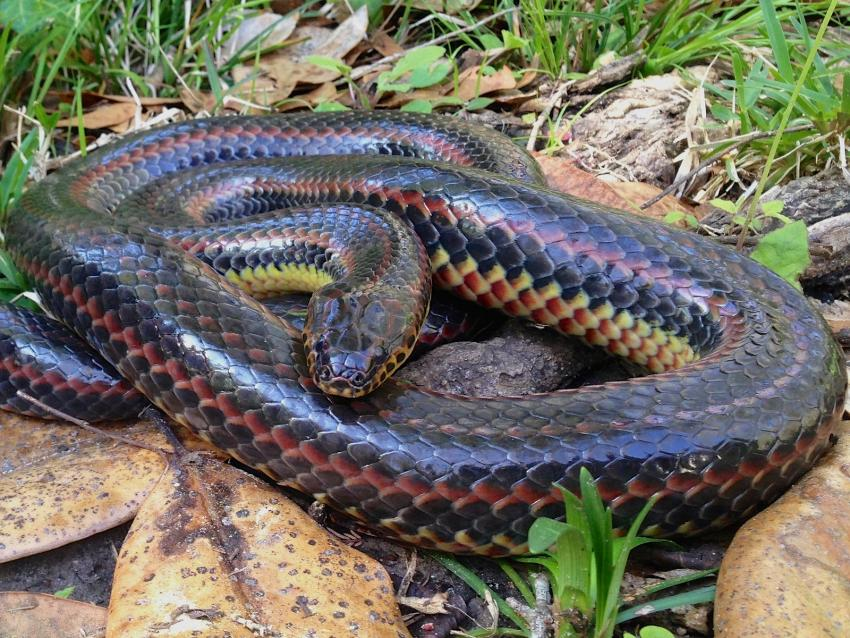 Una rara serpiente arcoiris fue vista en un bosque de Florida por primera vez en 50 años