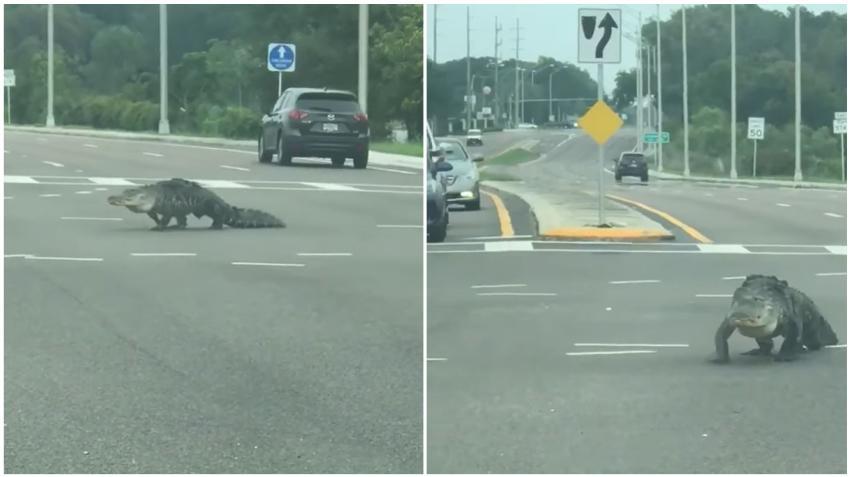 Con el aumento de las temperaturas en Florida advierten sobre más caimanes en lugares públicos