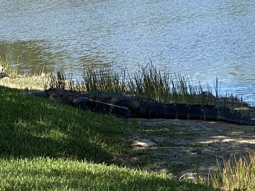 Encuentra caimán en Florida con dos flechas disparadas en su costado