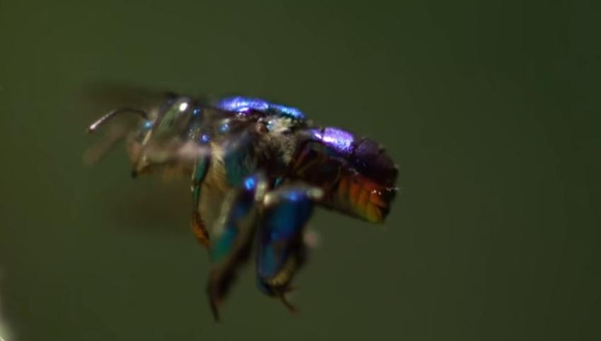Rara abeja azul que se creía extinta reaparece en Florida