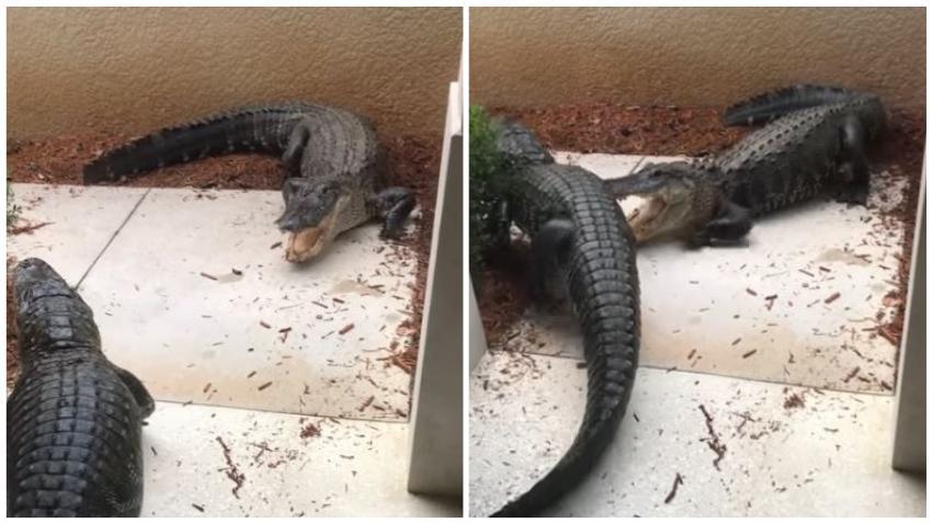 Dos caimanes se pelean a la entrada de una vivienda en Fort Myers
