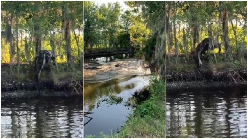 Captado en cámara dos caimanes se pelean en una reserva natural en Florida