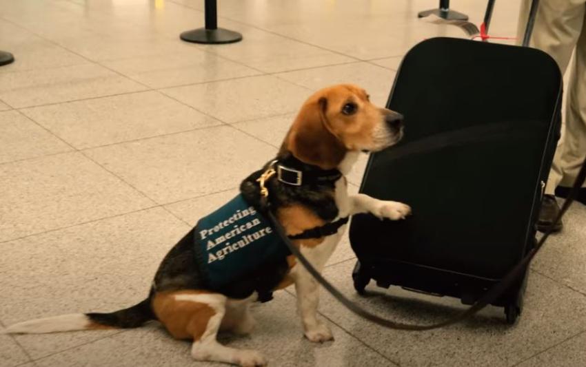 Entrenan perros para ver si pueden detectar el coronavirus en los aeropuertos
