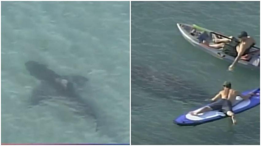 Enorme tiburón en una playa de Miami pasa cerca de un hombre que disfrutaba en su Kayak y jugaba con manatíes